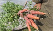 How to Grow Carrots: Soil Prep, Planting & Harvesting