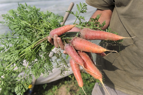 French organic farmer Gwenole Le Roy holds home grown organic carrots on September 9, 2014 on his his farm in Plouescat, western of France. (Fred Tanneau/AFP/Getty Images)