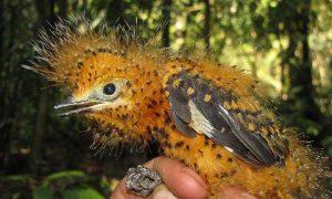 Bizarre Mimicry in the Amazon Rainforest