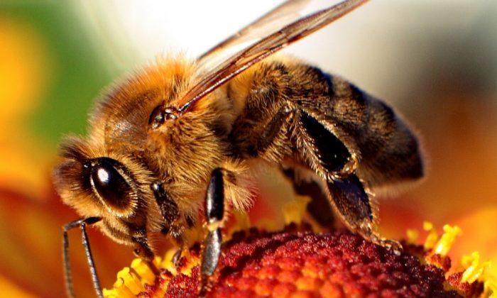 Bee of the genus Apis on a flower. (Wikimedia Common, Maciej A. Czyzewski)