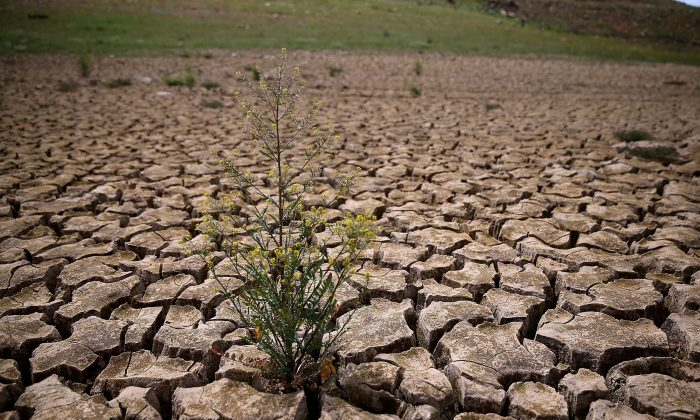 Weeds grow in dry cracked earth that used to be the bottom of Lake McClure in La Grange, Calif., on March 24, 2015. (Justin Sullivan/Getty Images)