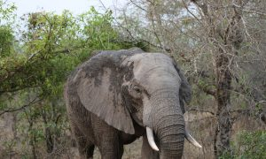 Elephant Poaching Rate Unchanged—and Still Devastating