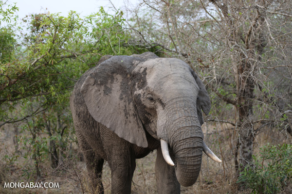 Savannah elephant in Kruger National Park in South Africa. Photo by: Rhett A. Butler.