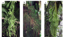 Extinction  Possible for Club Mosses in Mexico