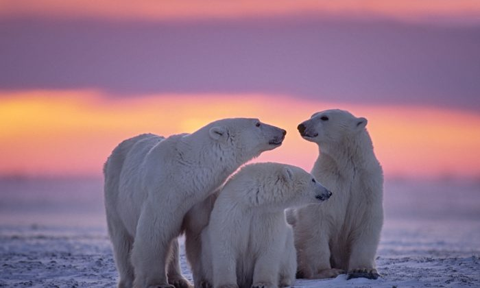 Polar bear family in Canadian Arctic sunset via Shutterstock*