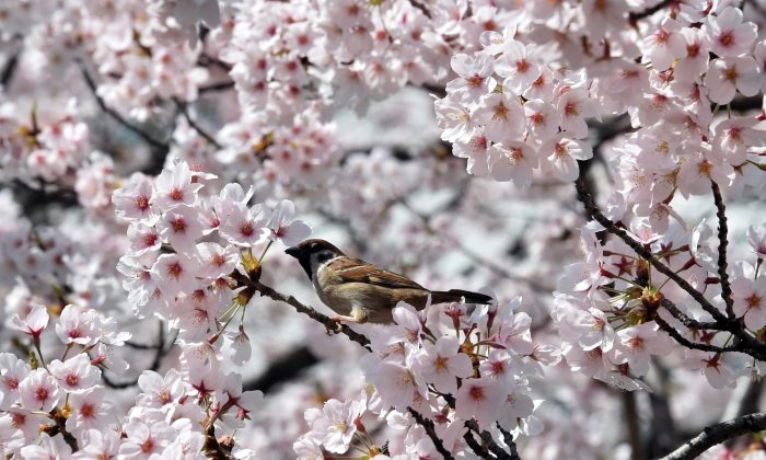 APRIL 1: A sparrow sits on a branch of a fully bloomed cherry blossom tree in Tokyo on March 31, 2015. Viewing of cherry blossoms is a national pastime and cultural event in Japan, where millions of people turn out to admire them annually. (YOSHIKAZU TSUNO/AFP/Getty Images)