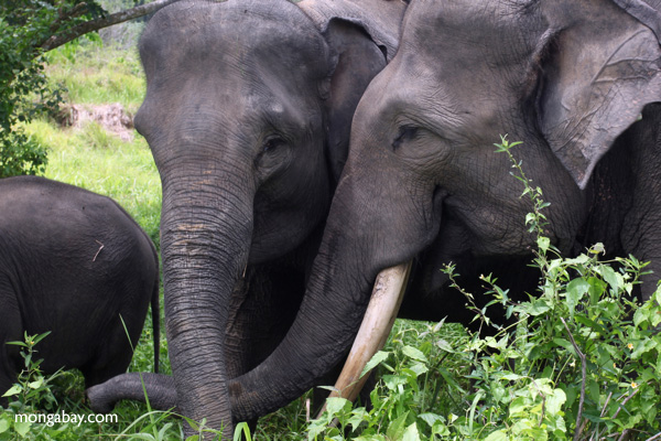 Sumatran elephants in Bukit Barisan Selatan National Park. Photo by Rhett A. Butler.