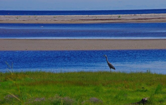 Great blue herons can be seen in marshy areas (Leigh McAdam, HikeBikeTravel)