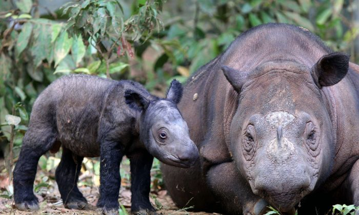 A female Sumatran rhino named Ratu, is with her calf at the Way Kambas National Park in Lampung, Indonesia, on June 25, 2012. (AP Photo)