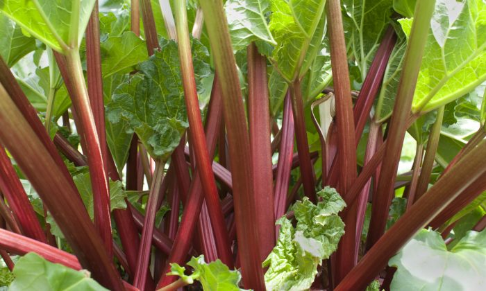 Bright red stems of garden variety rhubarb, now in season. (jlmcloughlin/iStock/Thinkstock)