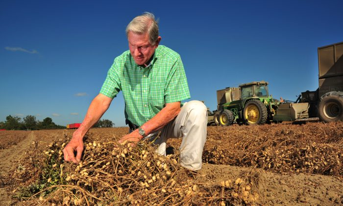 Peanut grower Armond Morris examines peanuts ready for harvest at his Irwinville, Ga., farm on Thursday, Oct. 25, 2012. Peanuts are one of the crops that won't be affected by the California drought, since none are grown in the state. (AP Photo/Todd Stone)