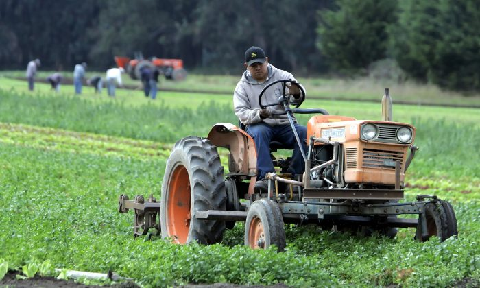 In this Nov. 1, 2005, file photo, workers tend an organic farm in Bolinas, Calif. (AP Photo/Eric Risberg, File)