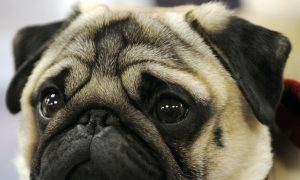 Pugs, Bulldogs Are Most Prone to Dying While Flying