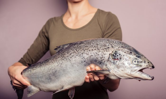 How do regulators determine if genetically altered salmon is safe to eat? (Shutterstock.com)