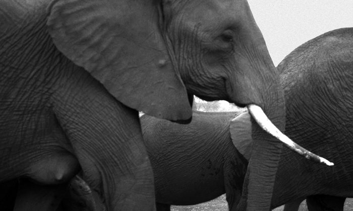 Mother elephant with calf, Amboseli, 2006. (Cyril Christo and Marie Wilkinson)