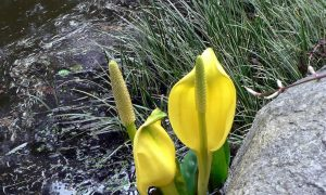 Skunk Cabbage Blooms Are a Stinky Herald of Spring