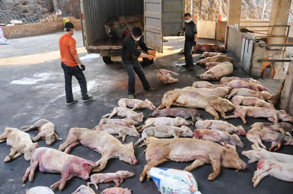 An undated photo shows dead pigs in China. (Screenshot/Tencent QQ)