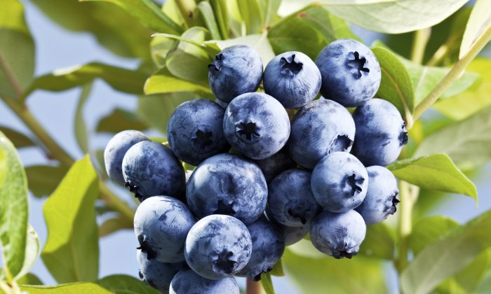 A new study finds that blueberry consumption may help with PTSD. (iStock/ValentynVolkov)