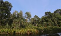 Artificial Swamps May Help Restore Indonesian Rainforest