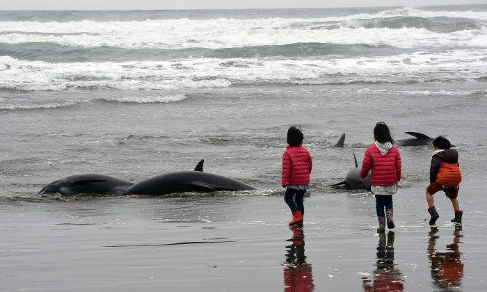 Children look on as residents attempt to save melon-headed whales beached on the shore of Hokota city, northeast of Tokyo on April 10, 2015. (TOSHIFUMI KITAMURA/AFP/Getty Images)