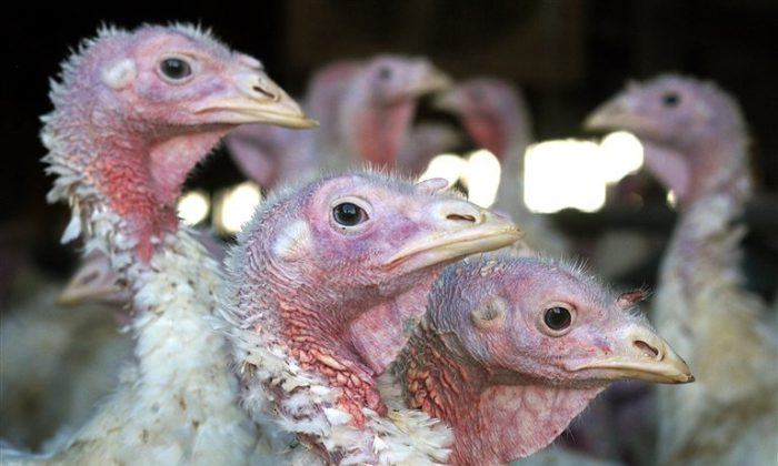In this Nov. 2, 2005 file photo, turkeys are pictured at a turkey farm near Sauk Centre, Minn. A bird flu strain that's deadly to poultry has shown up in a commercial turkey flock in South Dakota and a fourth turkey farm in Minnesota, state and federal agencies confirmed Thursday, April 2, 2015,  bringing the total number of outbreaks in the Midwest to 9 and leading to the death of 314,000 birds since early March. (AP Photo/Janet Hostetter,File)