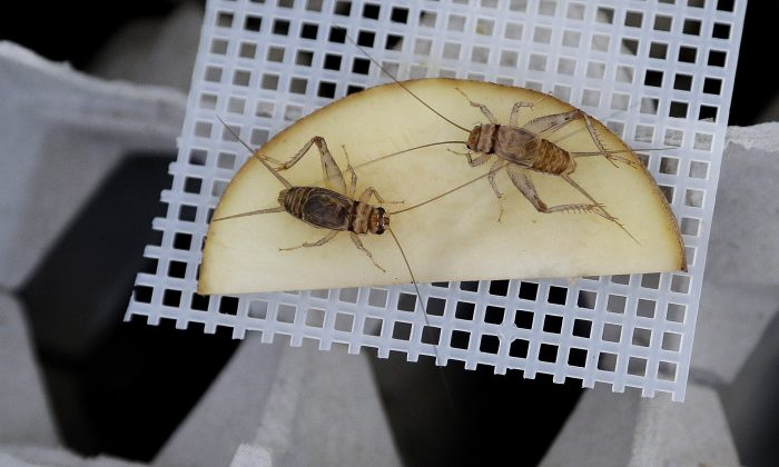 Banded crickets retrieve moisture from a sliced potato in an experimental cricket habitat made from egg cartons Monday, Feb. 9, 2015, in Oakland, Calif. (AP Photo/Ben Margot)