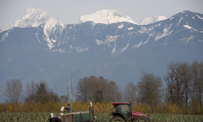 Workers harvest brussels sprouts in a field in Chilliwack, B.C., Nov.11, 2013. Pesticide use globally is exceeding recommended levels, resulting in a 30 percent reduction of aquatic biodiversity, a first-of-its-kind study has found. (The Canadian Press/Jonathan Hayward)