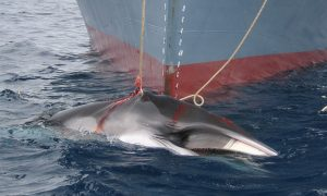 Expert Panel Rebukes Japan's New Whaling Proposal