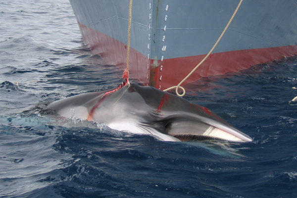 Antarctic minke whale caught be Japanese vessel, the Yushin Maru, in 2008. Photo by: Australian Customs and Border Protection Service.