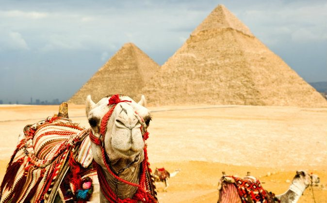 Camels in Egypt via Shutterstock*