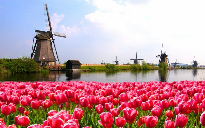 Vibrant pink tulips with Dutch windmills along a canal, Netherlands via Shutterstock*