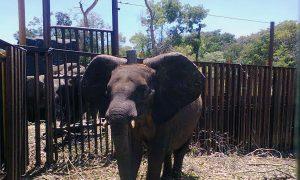 Zimbabwe Selling Baby Elephant Calves to China