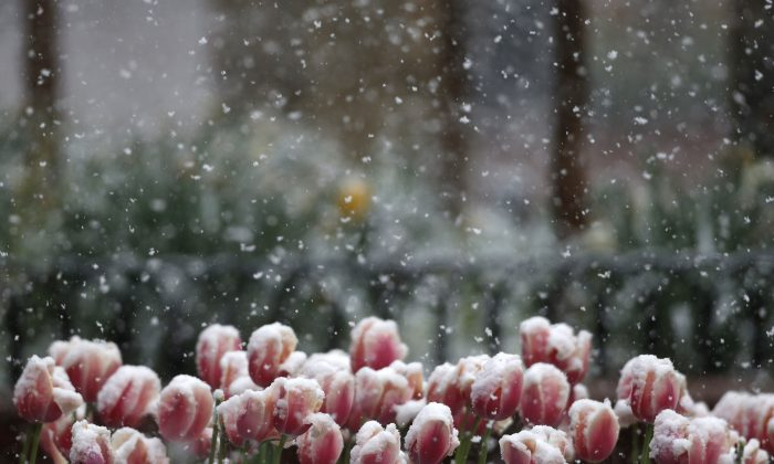 Snow falls on tulips in Boulder, Colo., on April 16, 2015. (Brennan Linsley/AP Photo)