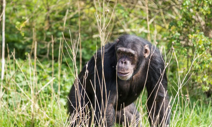 """""""It's just another example of diversity in chimp behavior that we keep finding the longer we study wild chimps,"""" says Jill Pruetz. (Dileep Kaluaratchie, CC BY-ND 2.0)"""