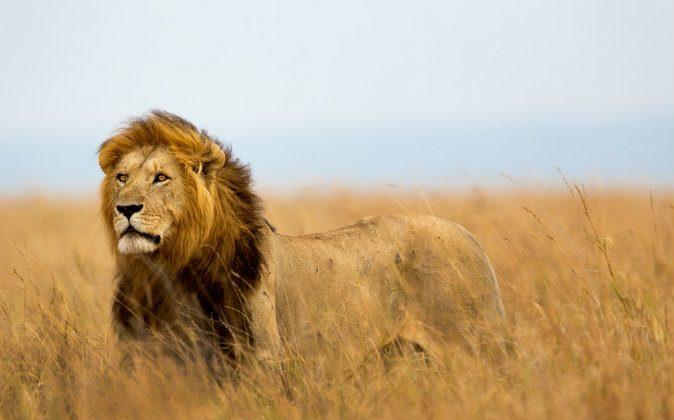 Masai Mara, Kenya via Shutterstock*