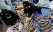 Thailand Finds Record Number of Elephant Tusks in Bean Sacks  (+ video)