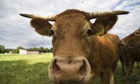 Retina Scans Could Spot 'Mad Cow' Faster