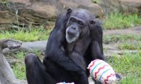Two Chimps Were Just Granted 'Human Rights' by a New York Court
