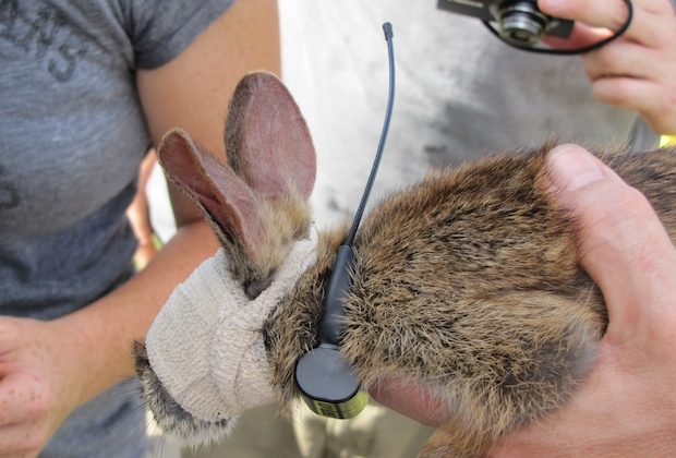 Rabbits tagged by the USGS, in an effort to determine if pythons are responsible for dwindling numbers. Within days, all the tagged rabbits were found in python stomachs. (USGS)