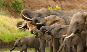Botswana Lifts Ban on Hunting Elephants