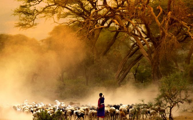 Shepherd leading a flock of goats via Shutterstock*