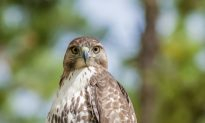 'Flameproof' Hawk Is World's Most Polluted Bird