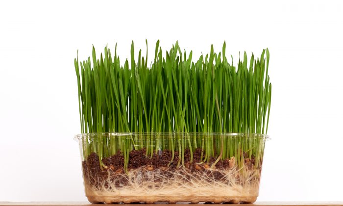 """Planting wheat seeds around the rim of a clear plastic pot could speed-up selective breeding for drought-tolerant wheat strains, says Cecile Richard. """"We hope to use the clear-pot technique to rapidly discover the genes responsible for these important root characteristics."""" (Shutterstock*)"""