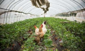 US Chicken Trade to China Catches the Flu