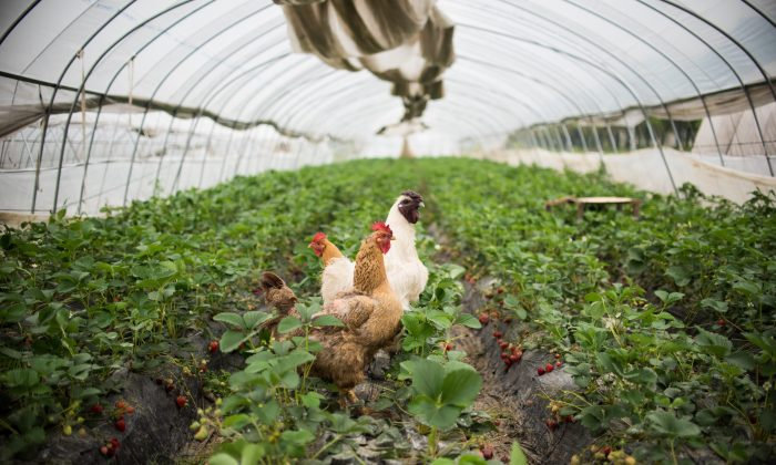 This picture taken on April 16, 2015 shows chickens standing amongst strawberries inside a greenhouse in Xiqiantou, a town near Wuxi in Jiangsu province. (Johannes Eisele/AFP/Getty Images)