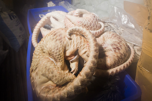 Frozen, dead Sunda pangolins confiscated by the Indonesian National Police's Criminal Investigation Division in Medan, Sumatra. Photo by: Paul Hilton for WCS.