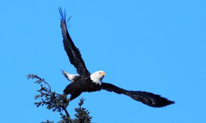 Eagle Kills a Controversial Consequence of America's Rush to Wind Energy