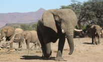 Can Elephants Retain Their Social Bonds in the Face of Poaching