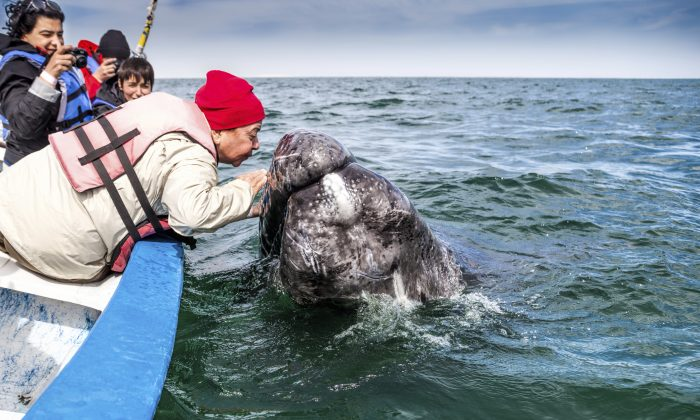 Old Woman Kissing a Gray Whale (renacal1, iStock)