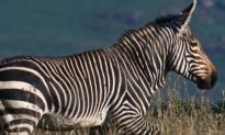 60% of World's Largest Herbivores Facing Extinction (Video)